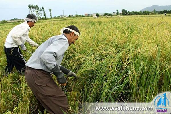 کشاورزی در محمودآباد